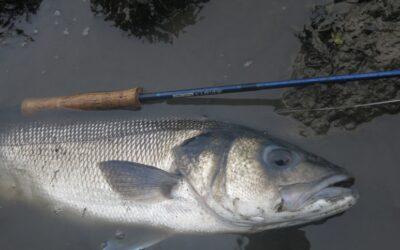 Pêche au leurre dans l'estuaire
